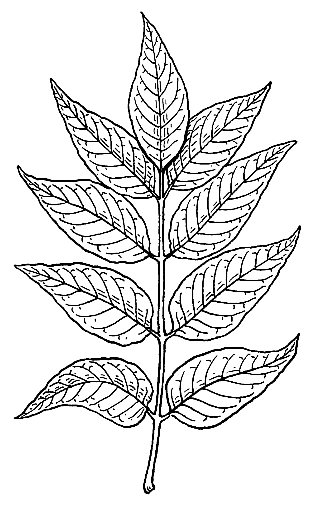 Tobacco Leaves Drawing Images & Pictures.