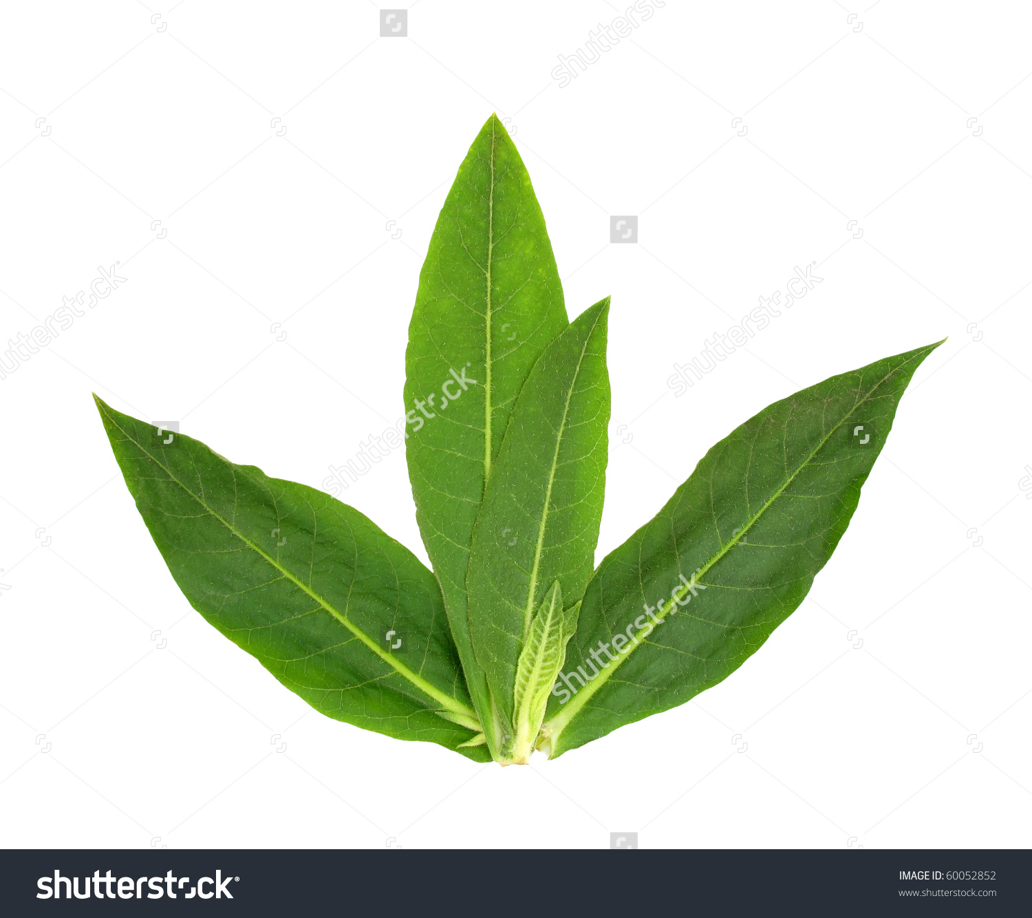 Tobacco Leaves Stock Photo 60052852.