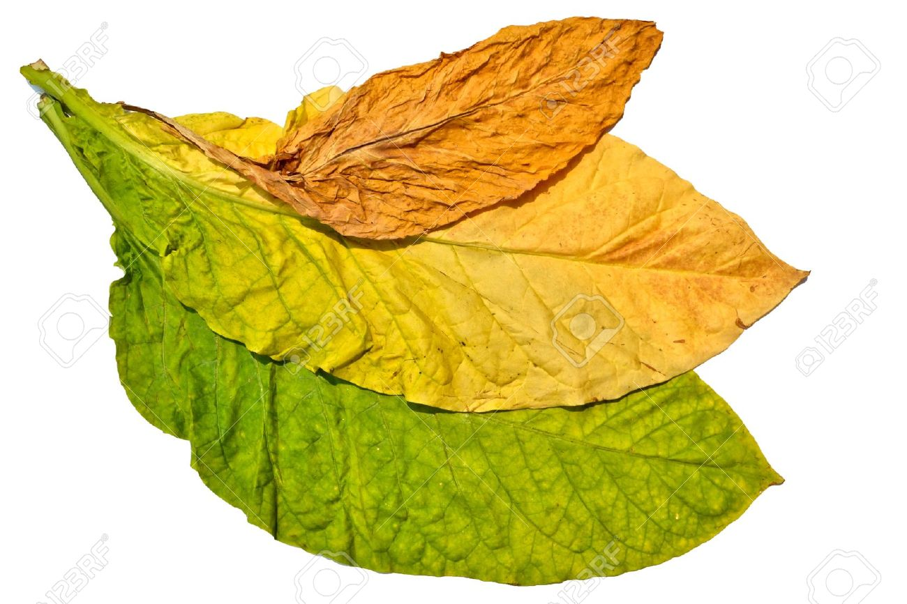 Tobacco Leaf On White Background Stock Photo, Picture And Royalty.