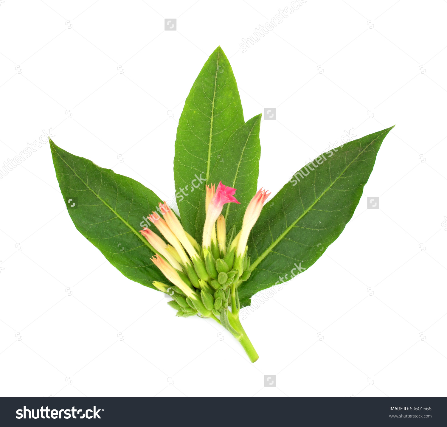 Tobacco Plant Flower Leaves Buds Stock Photo 60601666.