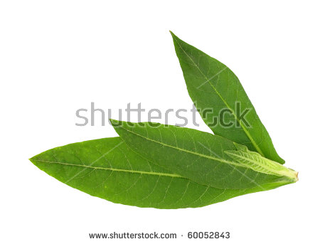 Tobacco Leaf Stock Images, Royalty.