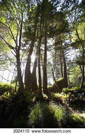 Stock Photography of Old Growth Trees Backlit By The Sun Along The.