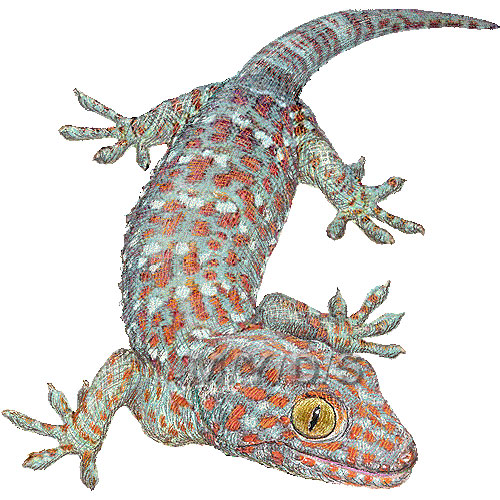Tokay Gecko clipart graphics (Free clip art.