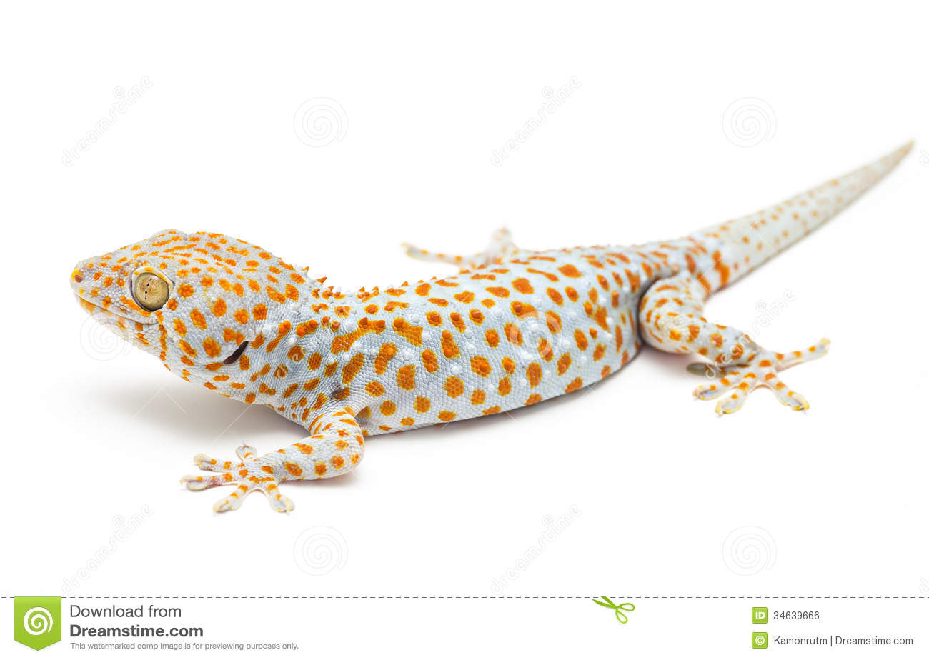 Tokay Gecko Thailand Stock Photos, Images, & Pictures.