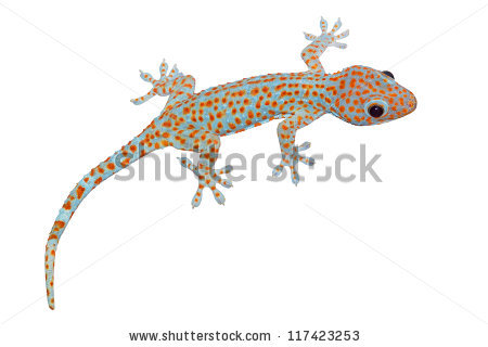 Tokay Gecko Gekko Gecko Isolated On Stock Photo 117423253.