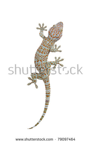 Tokay Gecko Stock Photos, Royalty.