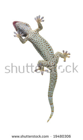 Tokay Gecko Gekko Gecko Front White Stock Photo 19480309.