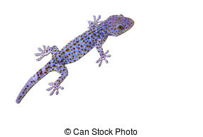 Picture of Tokay gecko.