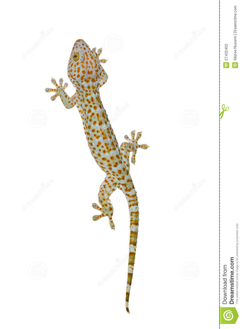 Tokay Gecko Stock Photography.