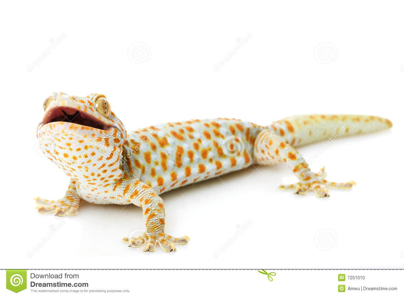 Tokay Gecko Royalty Free Stock Photo.