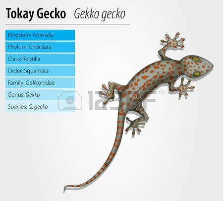 59 Tokay Gecko Stock Vector Illustration And Royalty Free Tokay.