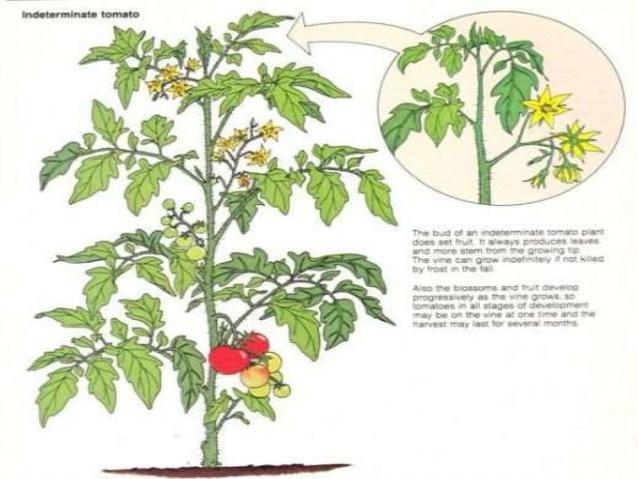 Tomato Breeding.