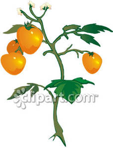Yellow Tomato Plant Royalty Free Clipart Picture.