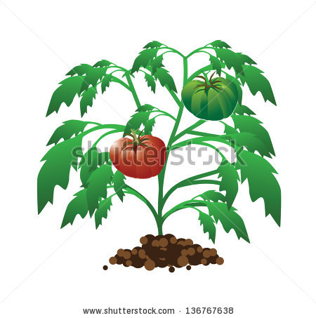 Tomato Plant Isolated Stock Vectors, Images & Vector Art.