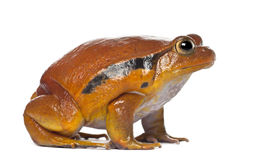 False Tomato Frog, Dyscophus Guineti Stock Photos.
