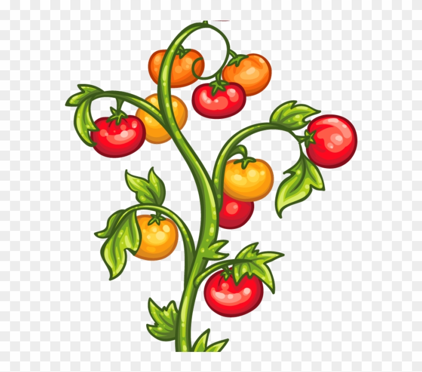 Tomato Plants Clipart, HD Png Download.