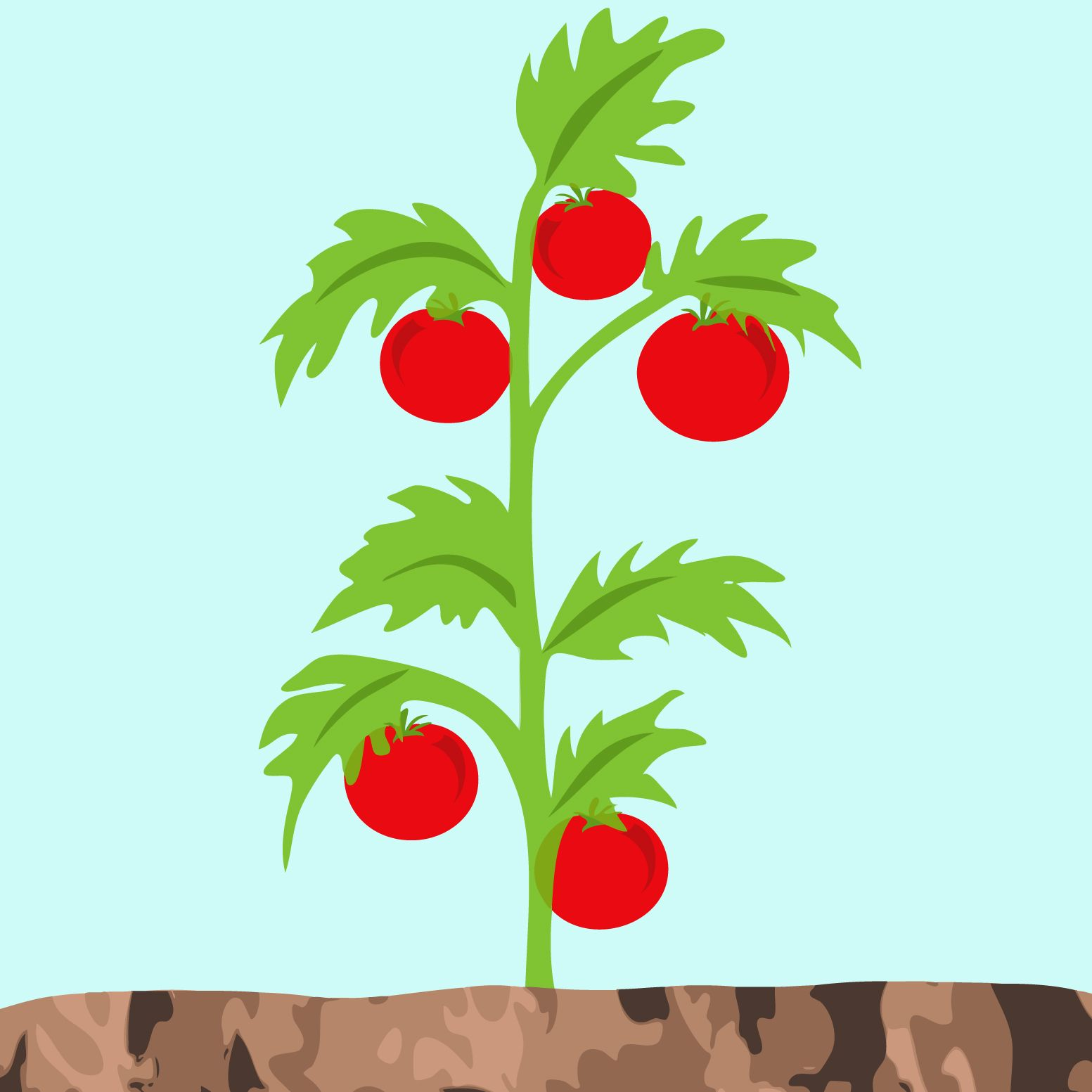 Image result for tomato plant drawing.