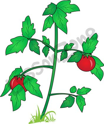 Parts of a tomato plant clipart.