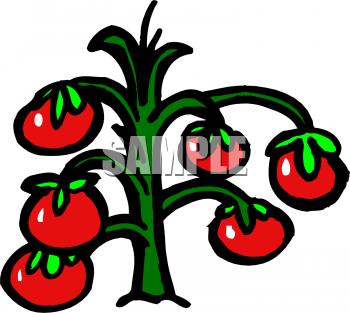 Tomato Plant Clipart.