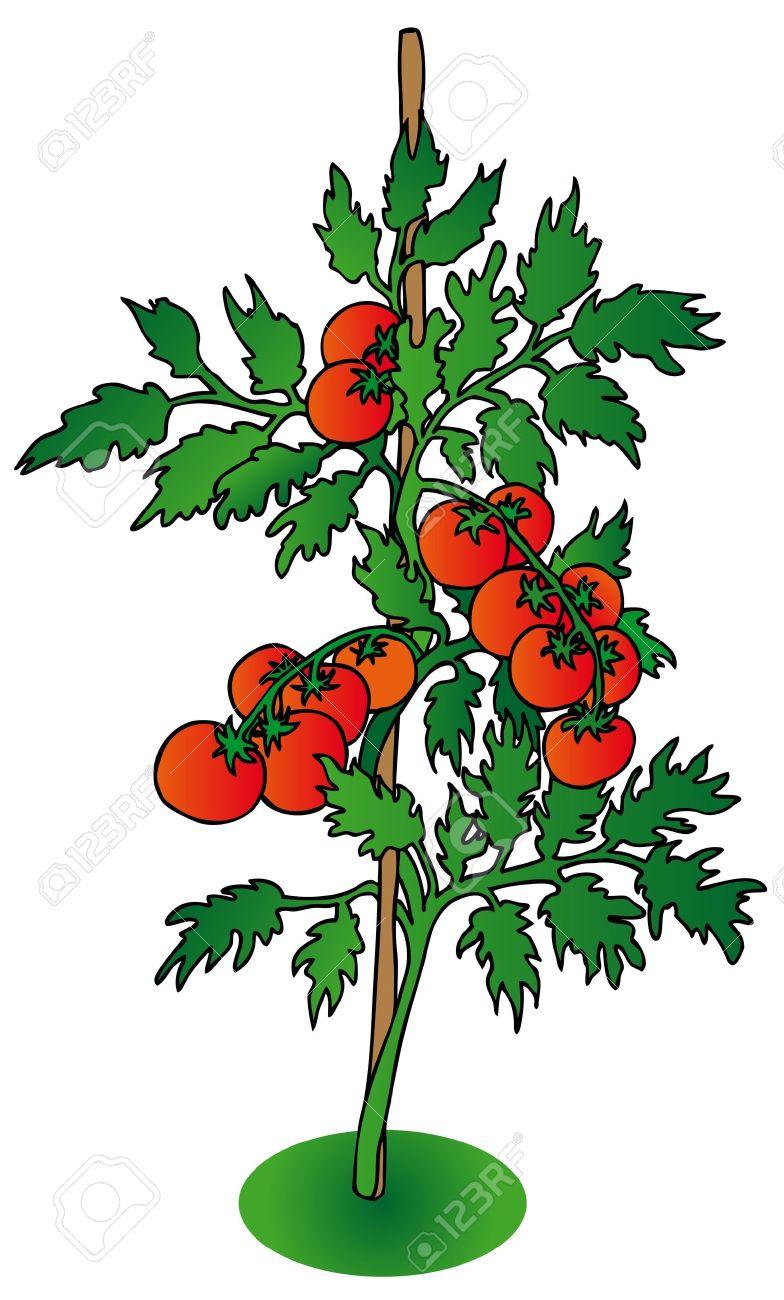 Tomato plant clip art.