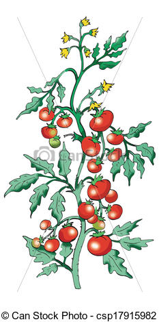 Vector of Bush tomato on white background.