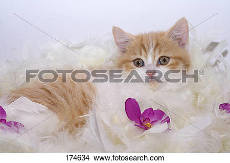 Stock Photo of British Shorthair. Red.