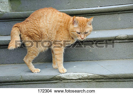 Stock Photo of Domestic Cat. Red.