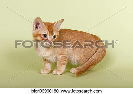 "Stock Photography of ""Burmilla cat, kitten, tomcat, 14 weeks, red."