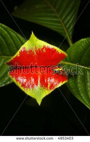 Psychotria Stock Photos, Royalty.