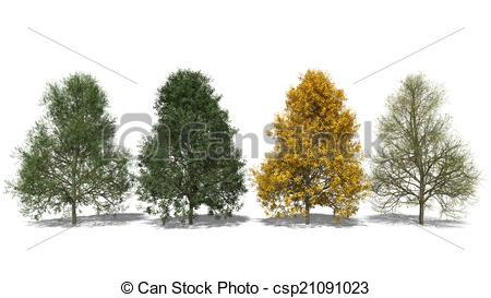 Clip Art of Tilia tomentosa (Four Seasons).