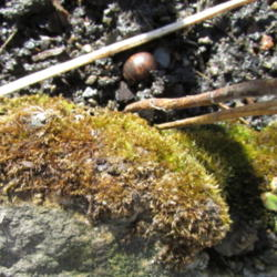 Plant ID forum: Woolly Feather Moss (Tomentypnum nitens).