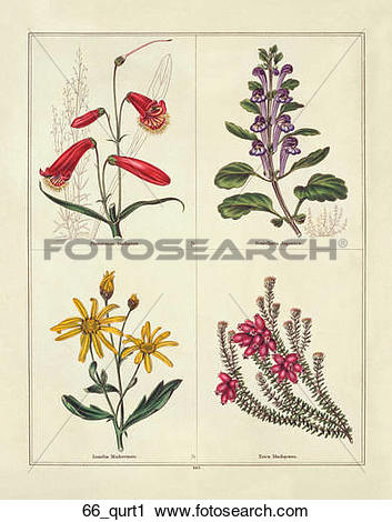 Clipart of Antique Illustration of Four Flowers: Beard Tongue.