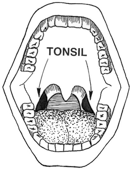Tonsils Clip Art.