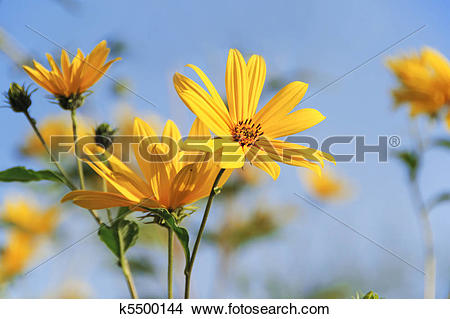 Stock Photo of Topinambur flower k5500144.