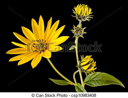 Stock Photography of Topinambur. Jerusalem artichoke isolated on.