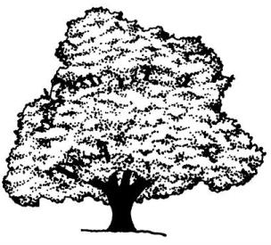 Sycamore tree clipart black and white.