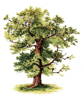 1000+ images about Oak Trees on Pinterest.