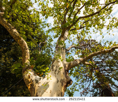 Sycamore Stock Images, Royalty.
