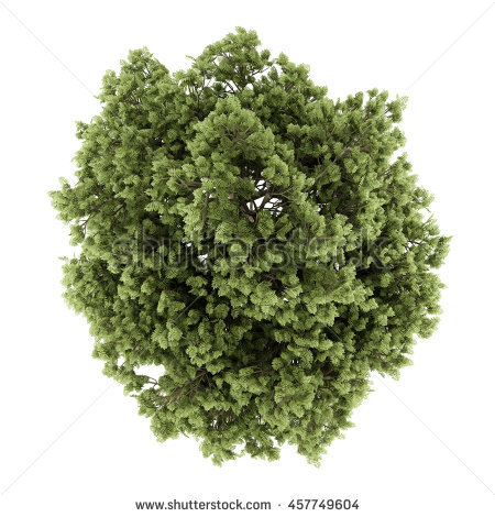Top View Sycamore Maple Tree Isolated Stock Illustration 435964057.