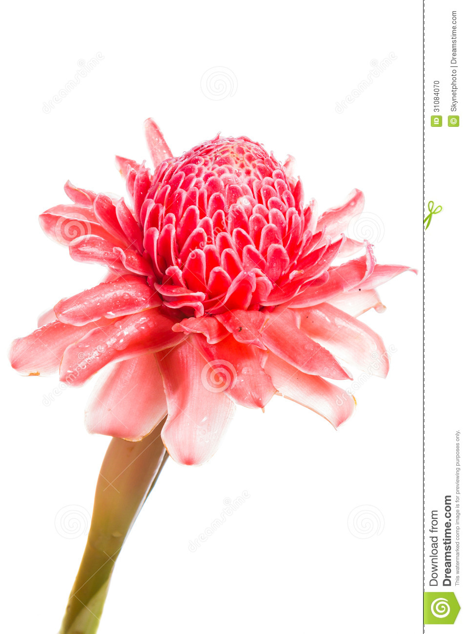 Isolated Torch Ginger Flower Stock Photo.