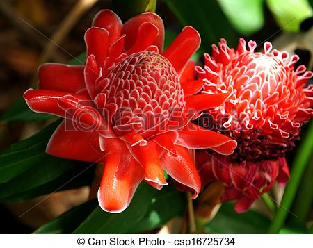 Stock Photos of Tropical flower of Pink torch ginger. (Etlingera.