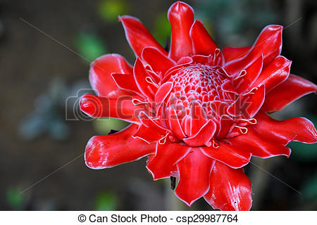 Stock Image of red flower torch ginger in natural.