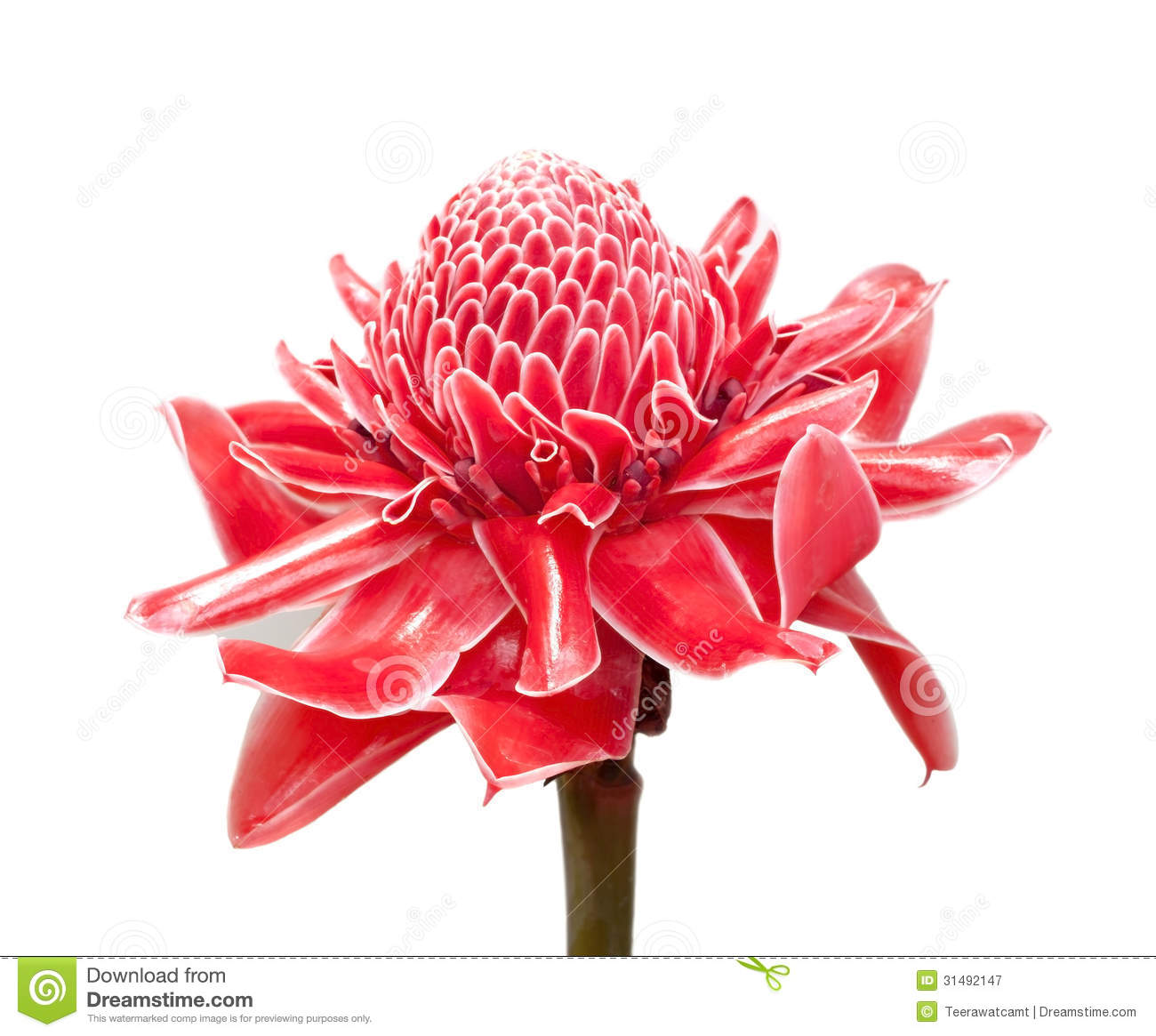 Red Torch Ginger Flower Royalty Free Stock Photography.