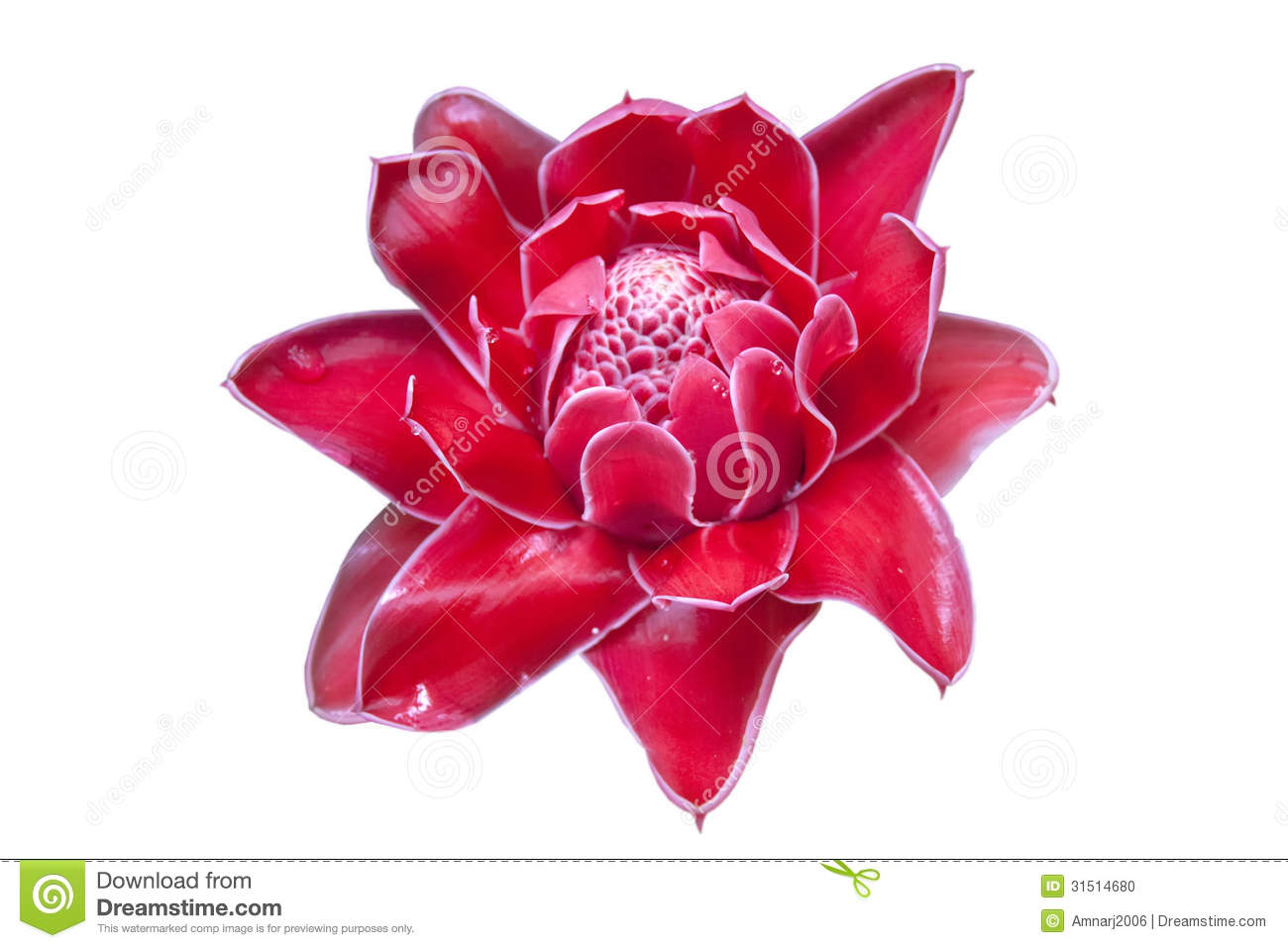 Torch Ginger Stock Photos, Images, & Pictures.