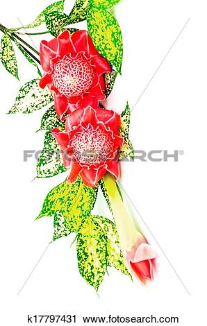 Stock Photography of Torch Ginger k17797431.