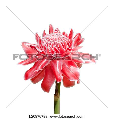 Pictures of Pink Torch Ginger (Etlingera elatior) k20976788.