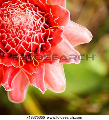 Stock Image of torch ginger flower k18375355.