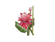 Torch Ginger Flower Stock Illustrations.