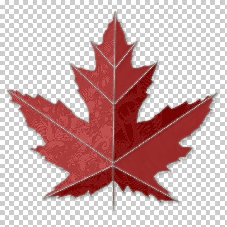 Canada Sugar maple Toronto Maple Leafs , Maple Leaf PNG.