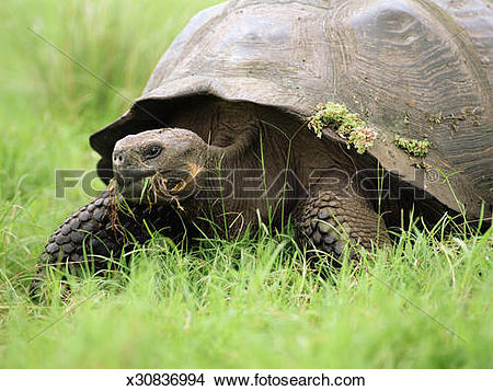 Stock Photo of Tortoise eating grass x30836994.